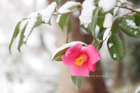 千葉県 本土寺の雪景色 境内の植物 ピンクの椿の写真素材 [FYI01236598]