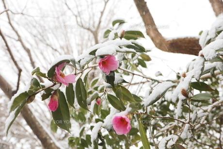 千葉県 本土寺の雪景色 境内の植物 ピンクの椿の写真素材 [FYI01236599]