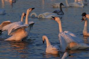 白鳥の写真素材 [FYI01236616]
