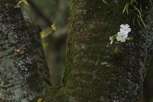ソメイヨシノの写真素材 [FYI01236694]