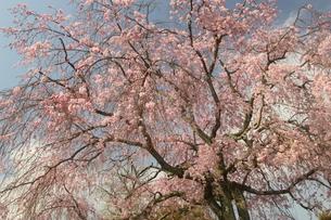 八重紅枝垂桜の写真素材 [FYI01236704]