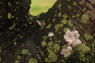 ソメイヨシノの写真素材 [FYI01236712]