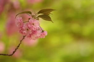 ヤエザクラ関山の写真素材 [FYI01236713]
