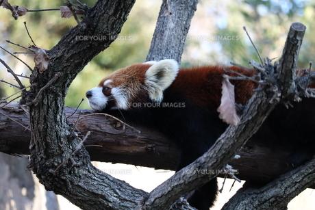 レッサーパンダの写真素材 [FYI01236761]
