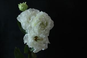 トルコキキョウの花束の写真素材 [FYI01236772]