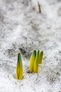 早春の植物の芽の写真素材 [FYI01236890]