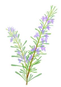 ローズマリーの花のイラスト素材 [FYI01237030]