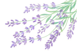 ラベンダーの花のイラスト素材 [FYI01237032]