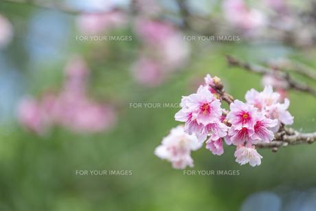 石垣島の寒緋桜の写真素材 [FYI01237117]