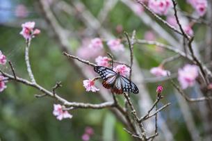 寒緋桜と蝶の写真素材 [FYI01237118]