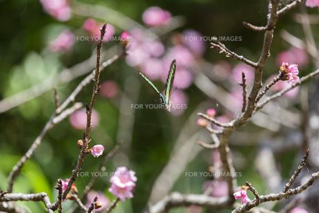 寒緋桜と蝶の写真素材 [FYI01237119]