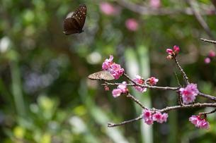 寒緋桜と蝶の写真素材 [FYI01237120]