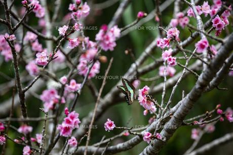 石垣島の寒緋桜の写真素材 [FYI01237121]