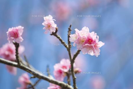 石垣島の寒緋桜の写真素材 [FYI01237122]
