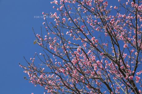 石垣島の寒緋桜の写真素材 [FYI01237126]