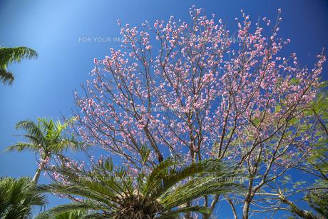 石垣島の寒緋桜の写真素材 [FYI01237127]