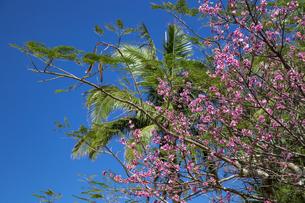 石垣島の寒緋桜の写真素材 [FYI01237128]