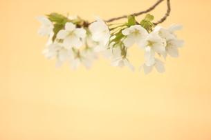 仙台枝垂れ桜の写真素材 [FYI01237269]