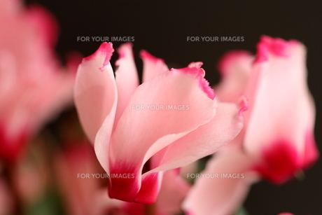 ガーデンシクラメンの写真素材 [FYI01237339]