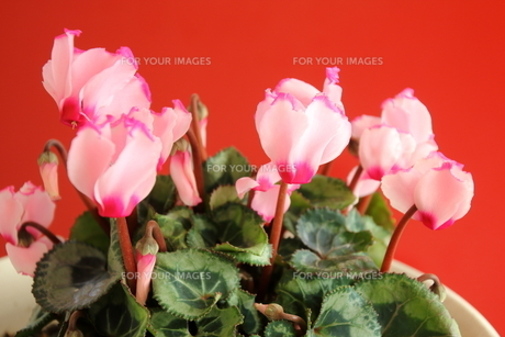 ガーデンシクラメンの写真素材 [FYI01237341]