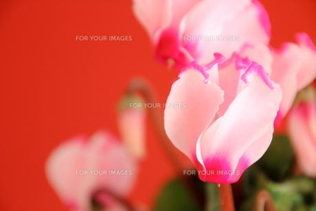 ガーデンシクラメンの写真素材 [FYI01237342]