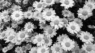 モノクロ マーガレット black and white margueriteの写真素材 [FYI01237348]