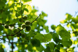 梅の実の写真素材 [FYI01237385]