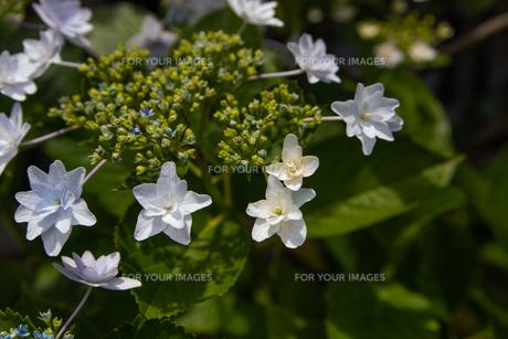 紫陽花の写真素材 [FYI01237390]