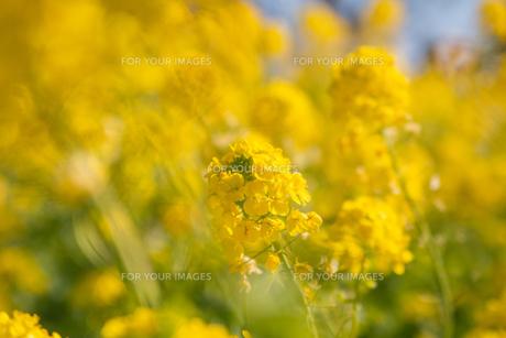 菜の花の写真素材 [FYI01237391]
