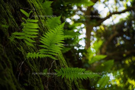 シダの葉の写真素材 [FYI01237397]