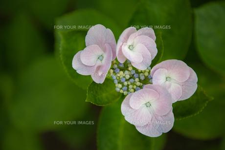 紫陽花の写真素材 [FYI01237400]