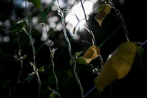 朝顔の葉と木漏れ日の写真素材 [FYI01237403]