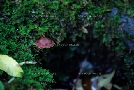 キノコと苔の写真素材 [FYI01237405]
