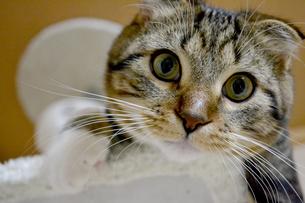 丸い顔の猫の写真素材 [FYI01237587]