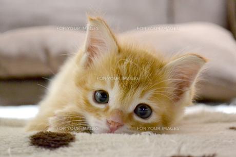 見つめる猫の写真素材 [FYI01237589]