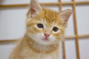 障子と猫の写真素材 [FYI01237591]