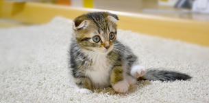 足を浮かす猫の写真素材 [FYI01237592]