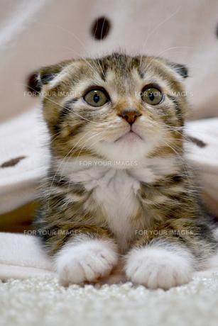 見上げる猫の写真素材 [FYI01237594]