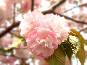 ピンクの八重桜の写真素材 [FYI01237645]
