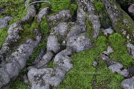 木の根の写真素材 [FYI01237803]