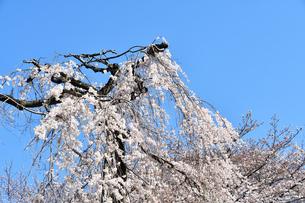市川市の伏姫桜の写真素材 [FYI01237808]