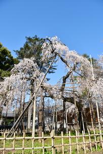 市川市の伏姫桜の写真素材 [FYI01237809]