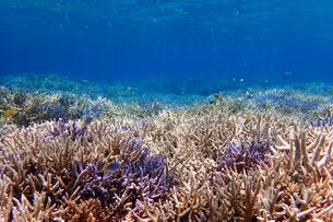 サンゴ礁の海の中の写真素材 [FYI01237948]