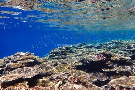 サンゴ礁の海の中の写真素材 [FYI01237961]