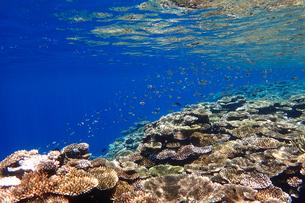 サンゴ礁の海の中の写真素材 [FYI01237962]