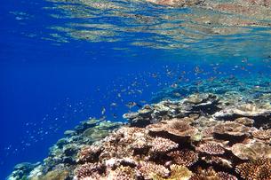 サンゴ礁の海の中の写真素材 [FYI01237963]
