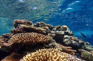 サンゴ礁の海の中の写真素材 [FYI01237965]