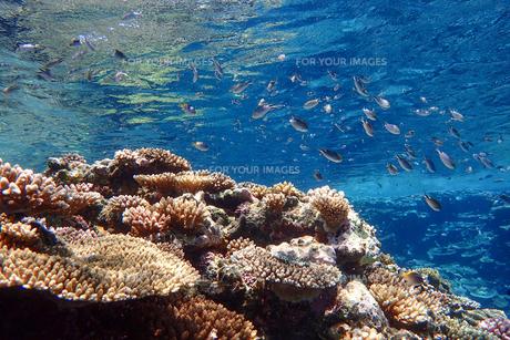 サンゴ礁の海の中の写真素材 [FYI01237966]