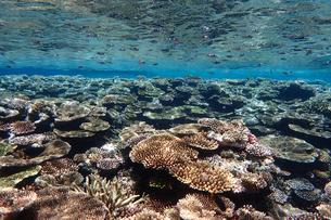 サンゴ礁の海の中の写真素材 [FYI01237967]