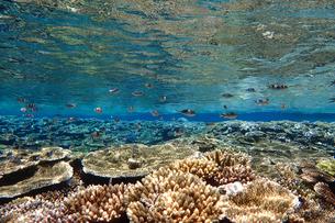 サンゴ礁の海の中の写真素材 [FYI01237969]